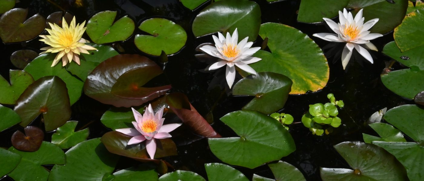 Photograph of colorful water lily