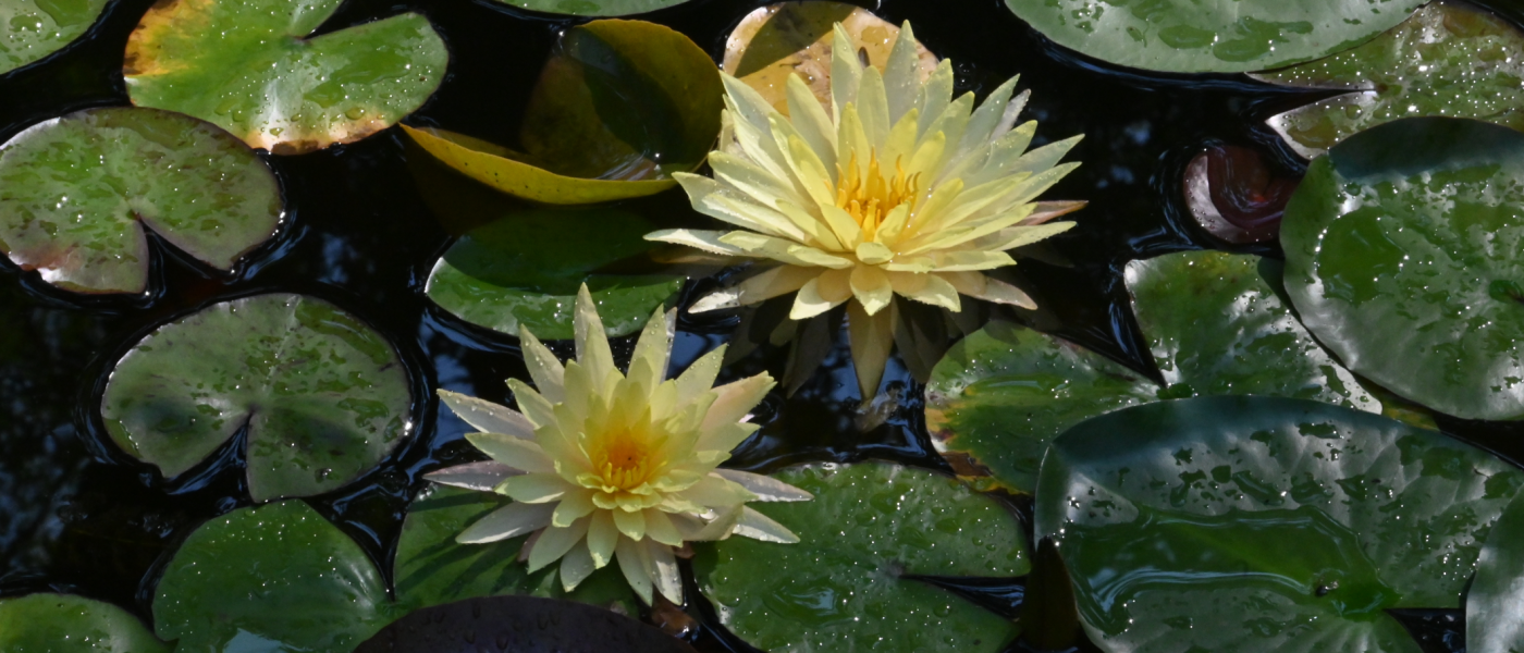 Photograph of yiellow water lily