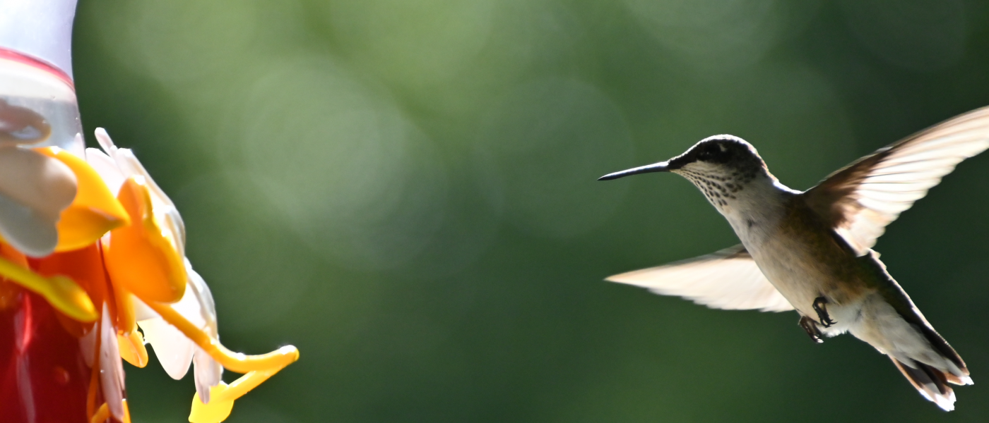 Photo of Hummingbird